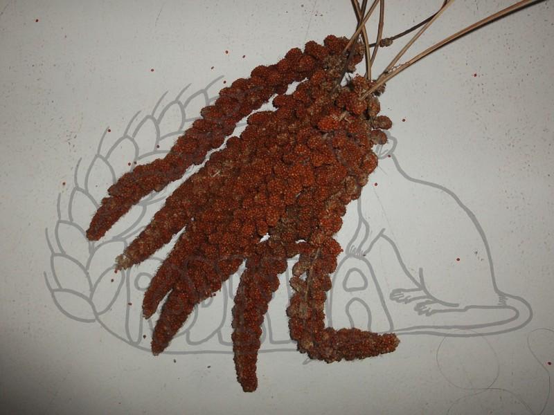 Senegalské proso červené - klasy 100 g